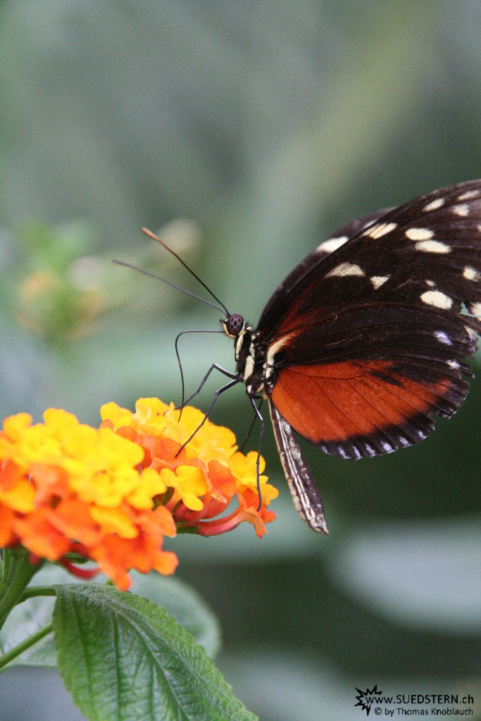 IMG 9604 - Butterfly